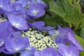 Hydrangea macrophylla ENDLESS SUMMER THE ORIGINAL - Bauernhortensie