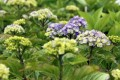 Hydrangea macrophylla YOU & ME TOGETHER - Bauernhortensie